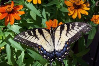Butterflies Hover Near Healdsburg