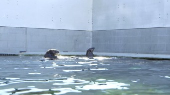 Pair of Rehabbed Otters to Carry New Biological Transmitters