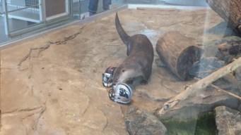 River Otter Predicts Super Bowl Winner