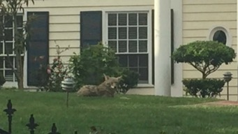 Coyote Lounges on San Francisco Lawn
