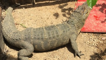 5-Foot Alligator, Ferret, Marijuana Seized in Hollister