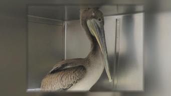 Wildlife Workers Save Pelican With CPR-Like Procedure