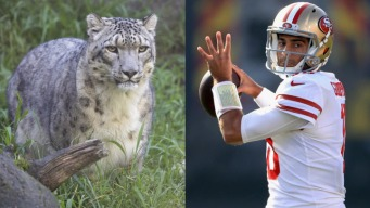 SF Zoo Names Snow Leopard 'Jimmy G' After Popular 49ers QB