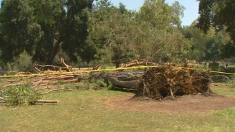 Tree Collapses Likely Not Drought-Related, Experts Say