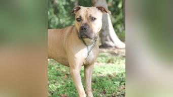 Pit Bull Rescued From Dog Fighting Ring to Become Police K-9