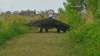 Is it Real or a Fake Giant Gator?