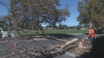 Drought Blamed for Dead Trees in Palo Alto