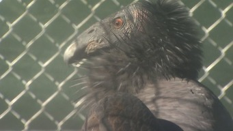 Oakland Zoo Treating 3 California Condors