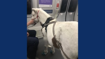 'BART Pony' Spotted on Train