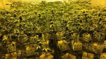 600 Marijuana Plants Seized at Discovery Bay Home