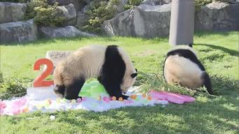 Twin Giant Pandas Celebrates Their Second Birthday in Japan