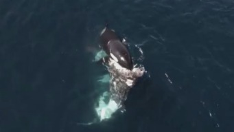 RAW: Killer Whales Feed on Gray Whale Carcass in Monterey