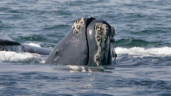 As Whale Watching Season Begins, So Do Conservation Efforts