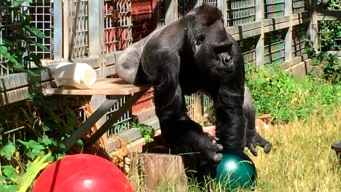 Judge Rules Bay Area Foundation Must Return Gorilla
