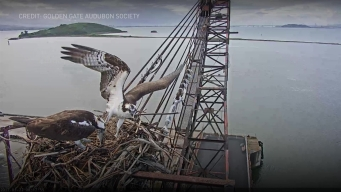 Intimate View of Osprey Family Available Through Livestream