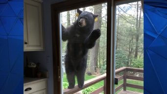 Bear Visits Conn. Woman's Home, Paws at Back Door