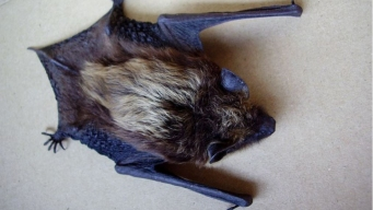 Rabies-Infested Bat Could Have Exposed Zoo Visitors