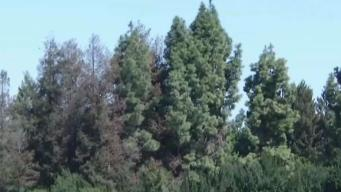 Battle Over Heritage Redwood Trees in Mountain View