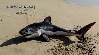 Beached Shark Refuses to Swim Back into Ocean