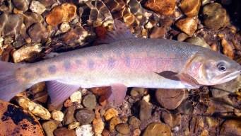 Rare California Trout Species Returns to Native Habitat