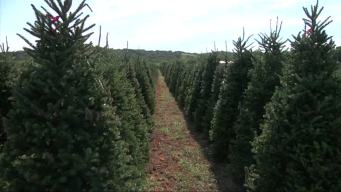 Christmas Tree Farmers Beat The Heat