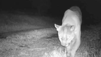 Concerns Over Mountain Lion Deaths in Bay Area