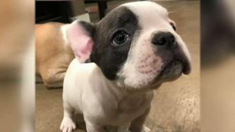 Thief Steals Couple's Beloved French Bulldog Archie