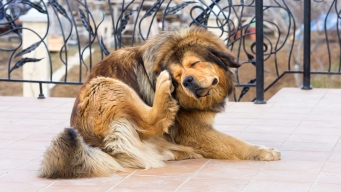 Flea, Tick Pills Can Cause Nerve Reactions in Pets: FDA