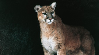 Mountain Lion Sighting Reported in Hills Above UC Berkeley