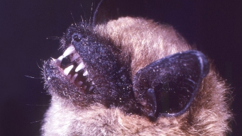 Bat Found in Orange County Tests Positive for Rabies