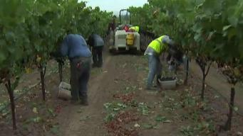 Grape Harvest Kicks Off in Wine Country