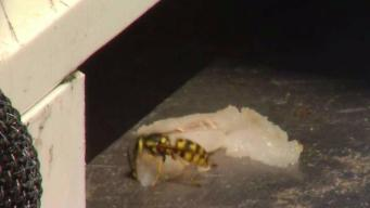 Heavy Rainfall Leads to Wasp Infestation in Bay Area