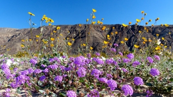 Wildflower Bloom Causes Traffic Delays in Borrego Springs