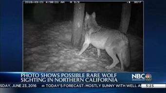 Possible Rare Wolf Sighting in Northern Calif.