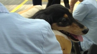 100 Dachshunds Compete for the Title of Top Dog