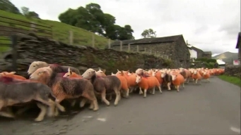 English Farmer Dyes Sheep Orange