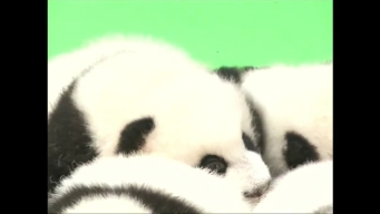 Giant Panda Cubs Make their Public Debut
