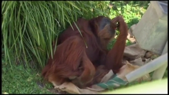 World's Oldest Orangutan Hails From Australia