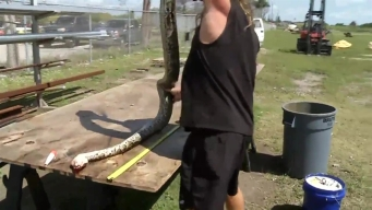 Massive 14-Foot Python Captured in Florida