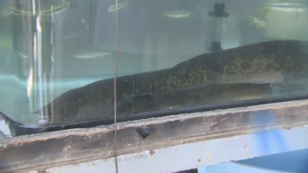 Giant Eel Captured in Central Japan