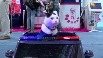 Cat Drives Police Car in Las Vegas