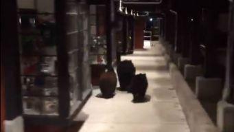 Bears Caught Window Shopping at Lake Tahoe Strip Mall