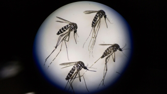 Zika Found in Trapped Fla. Mosquitoes, 1st in US Mainland
