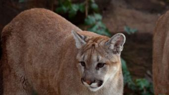 Mountain Lion Spotted Near Lawrence Berkeley Lab Building