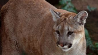 Mountain Lion Spotted on Road in San Mateo County