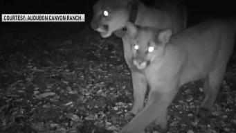 Mountain Lion Mother, Kitten Seen Once After North Bay Fires