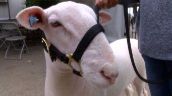Lucky Lamb Avoids Slaughterhouse