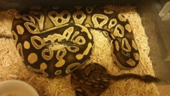 Snakes On The Loose: Ga. Officers Hunt Escaped Pet Pythons
