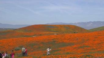 Poppy Reserve Deals With Record Crowds in Los Angeles