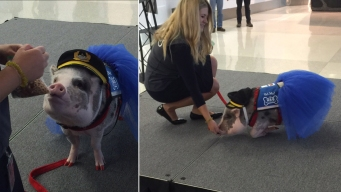 Yes, This Tutu-Wearing Therapy Pig at SFO Can (Almost) Fly